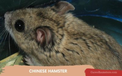 Chinese Dwarf Hamster – Complete Guide For Amazing Care