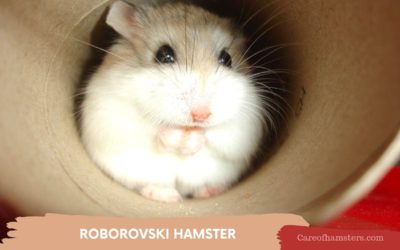 Roborovski Hamster – Complete guide for Amazing Care