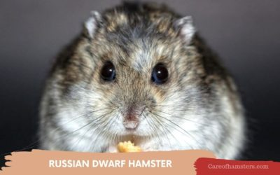 Russian Dwarf Hamster – Everything You Need To Know