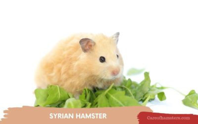 Syrian Hamster: Are They Good And Friendly Pets?