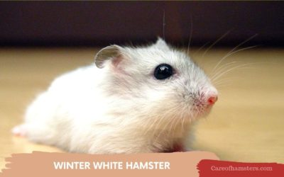 Winter White Hamster – Complete guide for Amazing Care